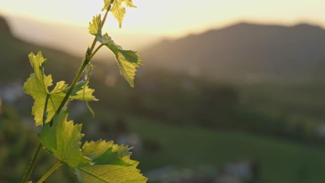 vine leaf, vineyard, close up, nature, spring, sunshine - vineyard stock videos & royalty-free footage