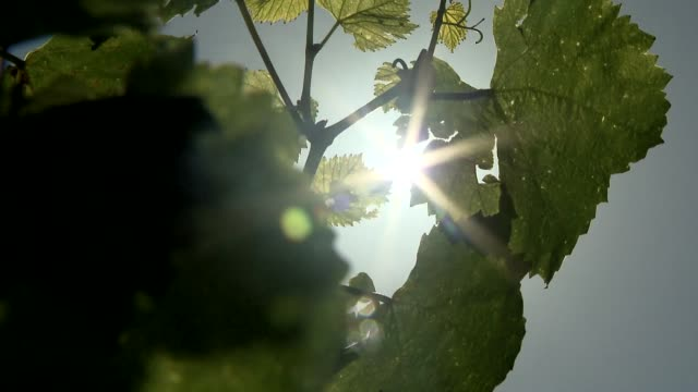 vine leaves - grape leaf stock videos & royalty-free footage