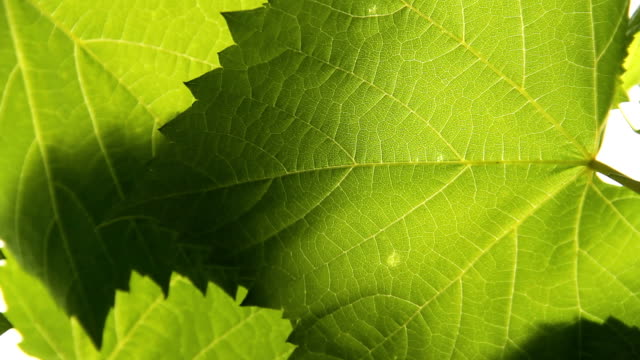 vine leaves - vine stock videos & royalty-free footage