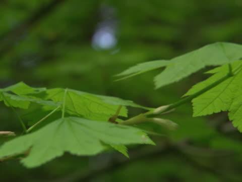 Vine maple branches