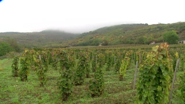 vine plantation in hungary - ブドウの葉点の映像素材/bロール
