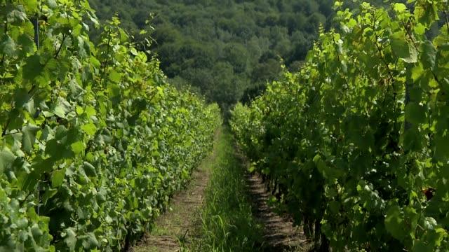 vine plantation - grape leaf stock videos & royalty-free footage