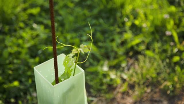 vídeos y material grabado en eventos de stock de a vine shoot growing inside the protection shelter - hoja de la vid