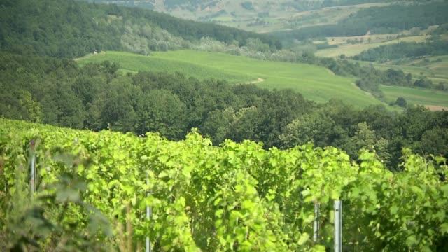 vine - grape leaf stock videos & royalty-free footage