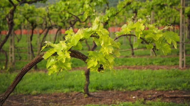 vídeos y material grabado en eventos de stock de a vine - grape leaf