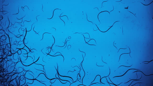 vinegar eel nematodes - struttura cellulare video stock e b–roll