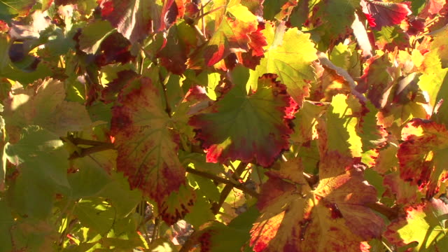 vineleaves of provence ( france ) - grape leaf stock videos and b-roll footage