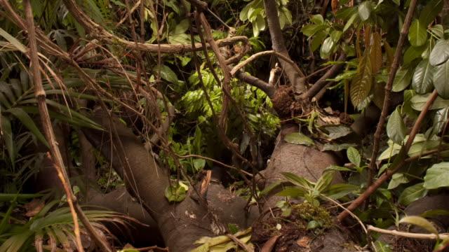 vídeos y material grabado en eventos de stock de vines and leaves cover the thick roots of a tree. available in hd. - raíz