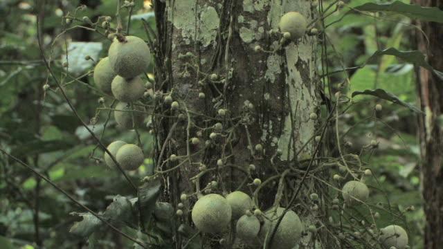 CU vines and round growths surrounding rainforest tree trunk/ Manu National Park, Peru