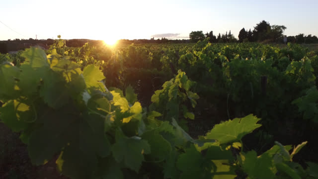vines at sunset - grape leaf stock videos & royalty-free footage