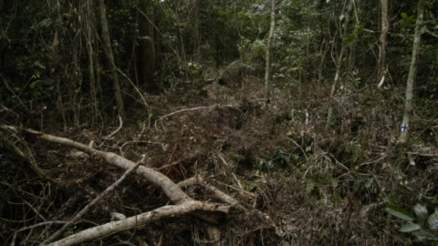 vines grow across fallen trees on a woodland floor. available in hd. - log stock videos & royalty-free footage