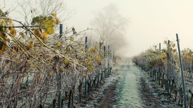 vidéos et rushes de vignes dans un matin glacial - froid