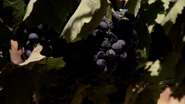 Vines rustle around grape clusters.
