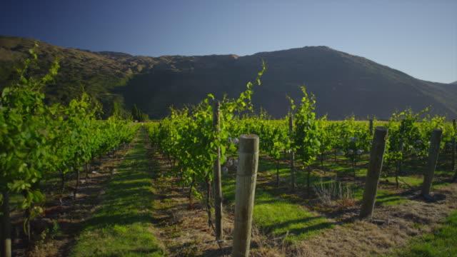vineyard at daylight - vineyard stock videos & royalty-free footage