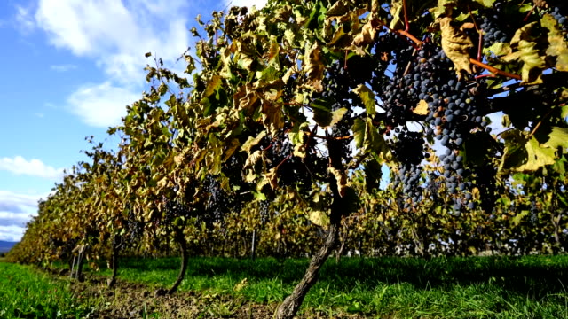vineyard at harvest time - red grape stock videos & royalty-free footage