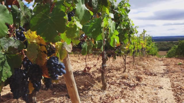 vineyard at harvest time - tonad bild bildbanksvideor och videomaterial från bakom kulisserna