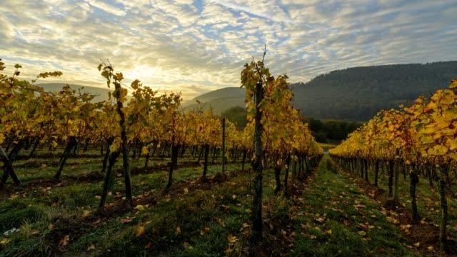vineyard at sunrise in autumn, bürgstadt, untermain, churfranken, franconia, bavaria, germany - weinberg stock-videos und b-roll-filmmaterial