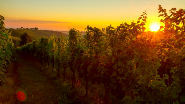 t/l vineyard at sunrise - vineyard stock videos and b-roll footage