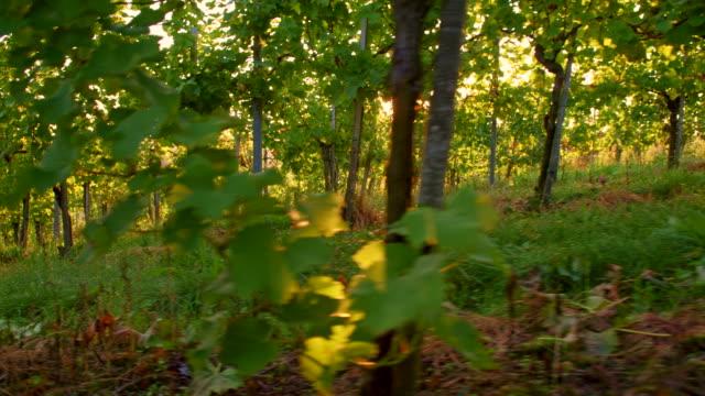 vídeos de stock, filmes e b-roll de ws vinhedo ao nascer do sol - raw footage