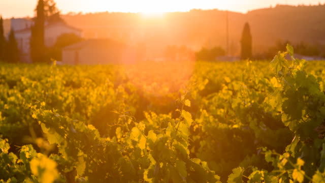 vineyard at sunset - provence alpes cote d'azur stock videos & royalty-free footage