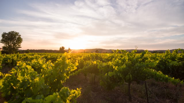 vineyard at sunset - vine stock videos & royalty-free footage