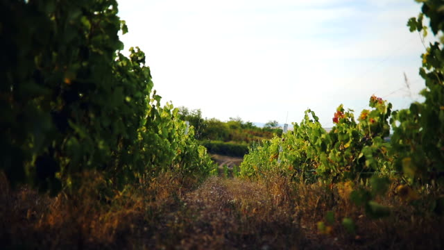 vineyard at sunset - grape stock videos & royalty-free footage