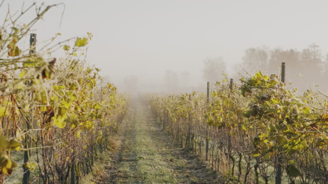 a vineyard covered in frost on a sunny autumn day in sweden - vineyard stock videos & royalty-free footage