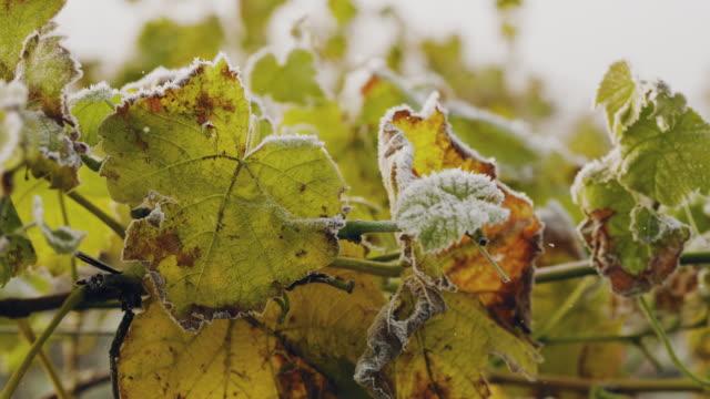 vídeos de stock e filmes b-roll de a vineyard covered in frost on a sunny autumn day in sweden - geada