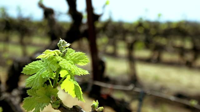 Vineyard. Grape leaf close up