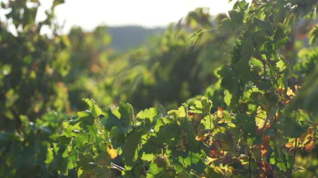 vídeos de stock, filmes e b-roll de uvas de vinhas e adega no sul da frança - mansão