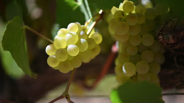 vídeos de stock e filmes b-roll de vineyard hanging bunch of white wine grapes in the wind and sun - uva