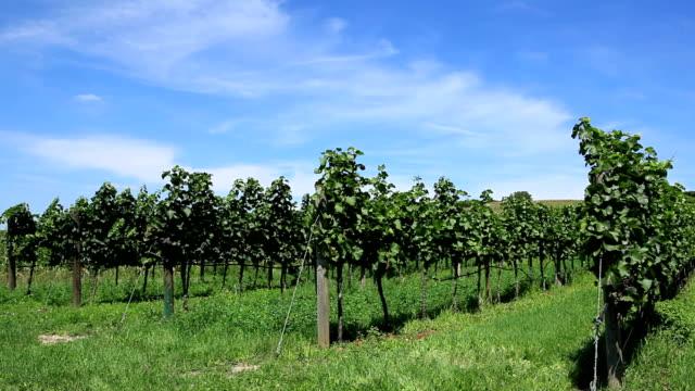 vineyard in austria - grape leaf stock videos and b-roll footage