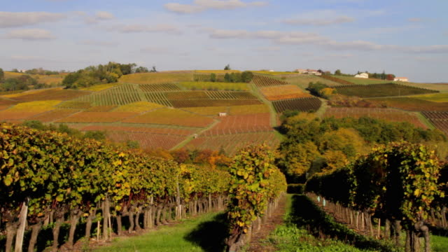 WS Vineyard in Autumn / Cadillac, Aquitaine, France