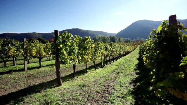vineyard in danube valley; austria - grape leaf stock videos and b-roll footage