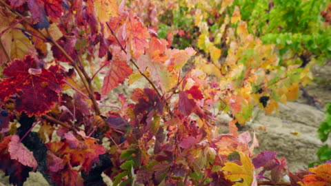 vineyard in la rioja - 40 seconds or greater stock videos & royalty-free footage
