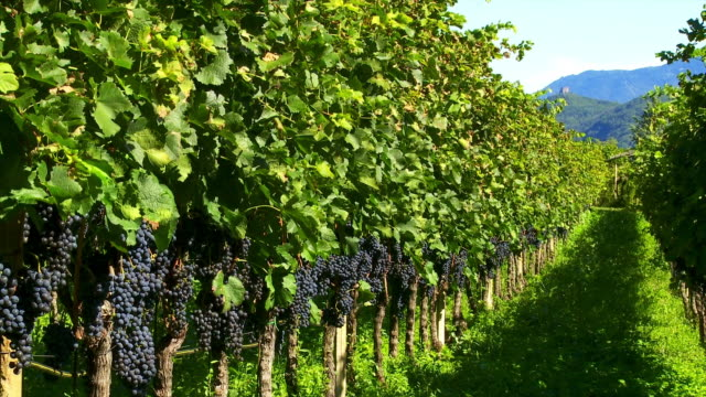 Vineyard In Late Summer Cinemagraph