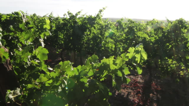 vineyard in south africa - stellenbosch stock videos and b-roll footage