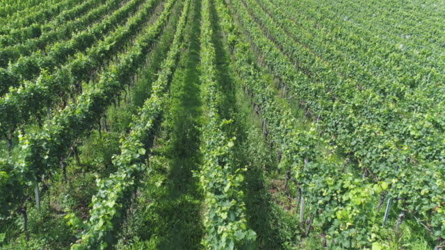Vineyard In Summer Flyover
