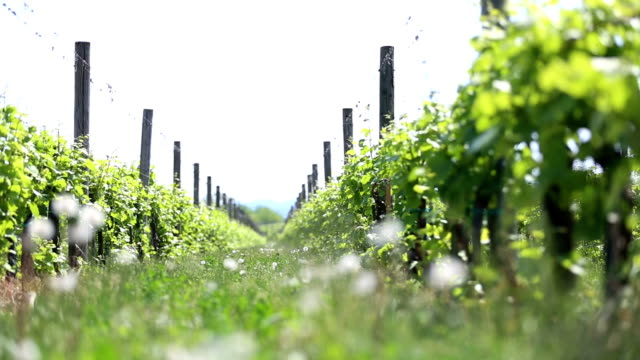 vineyard in the afternoon sun - dolly video - cabernet sauvignon grape stock videos and b-roll footage