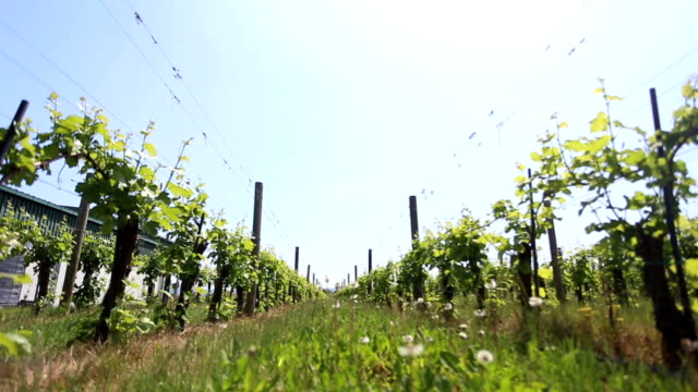 Vineyard in the afternoon sun - dolly video