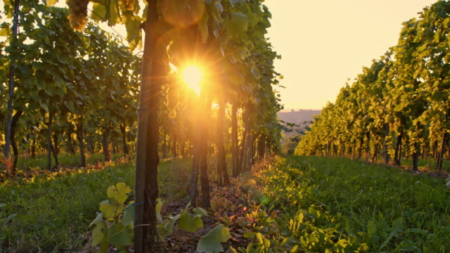 vineyard in the afternoon sun - vine stock videos & royalty-free footage