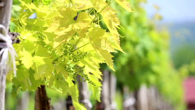 vineyard in the afternoon sun - red grape stock videos & royalty-free footage