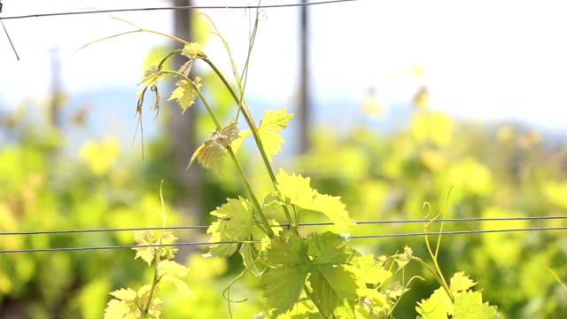 vineyard in the afternoon sun - cabernet sauvignon grape stock videos and b-roll footage