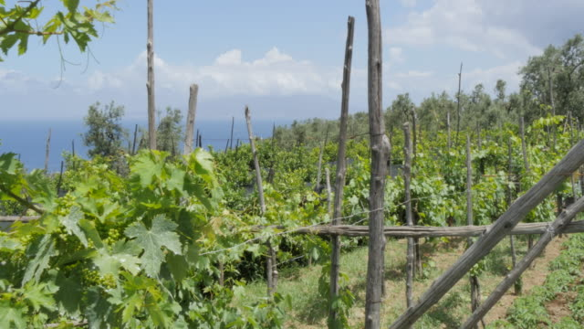 vineyard in the hills above sorrento, costiera amalfitana (amalfi coast), unesco world heritage site, campania, italy, europe - vineyard stock videos & royalty-free footage