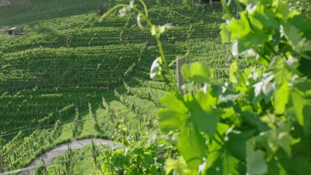 vigneto in collina, primavera - white wine stock videos & royalty-free footage
