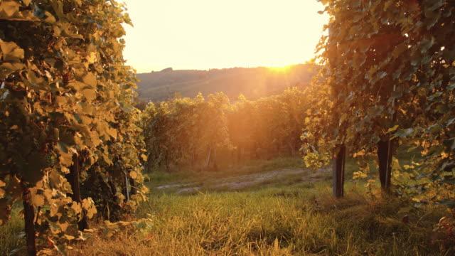 vineyard in the late afternoon sun - prekmurje stock videos & royalty-free footage