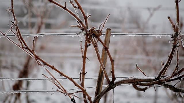 vídeos y material grabado en eventos de stock de viñedo en invierno - uva cabernet sauvignon