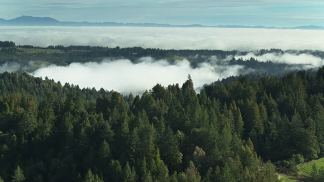 vineyard nestled amid redwood trees covered by morning fog - aerial - redwood tree stock videos and b-roll footage