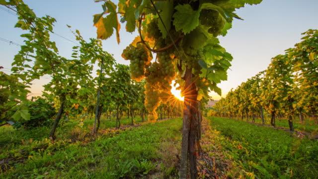 T/L 9 K Vineyard Weiße Traube bei Sonnenuntergang