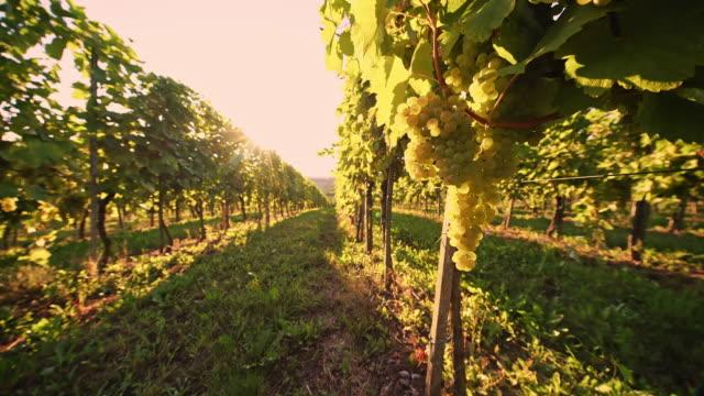 DS Vineyard of white grape